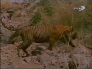 BBC - Страна тигров
